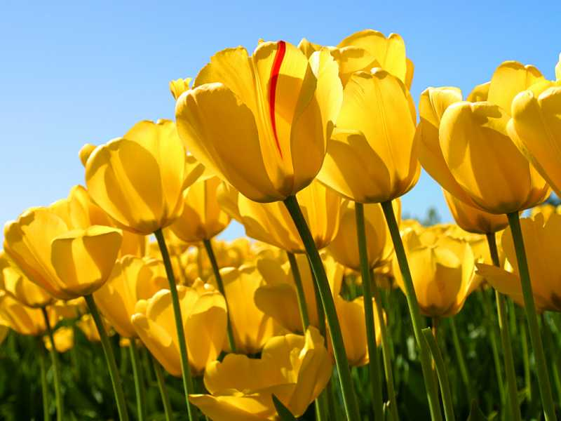 Tulips_2014-02-19.jpg